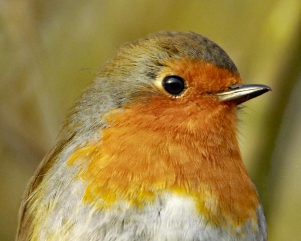 Robin by jonnydart