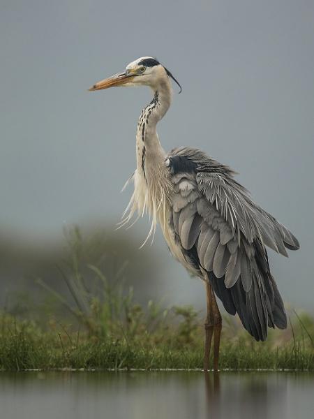 Grey Heron by Jamie_MacArthur
