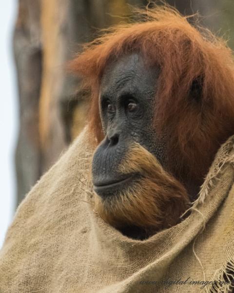Orangutan by Alan_Baseley
