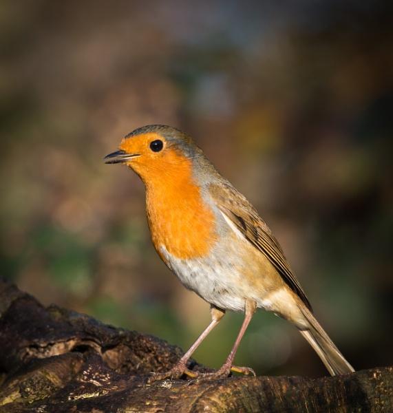 Robin by jasonrwl