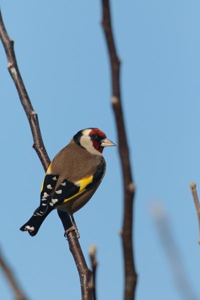 Finch by guern