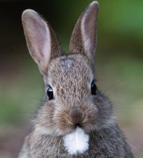 Rabbit by kfjmiller