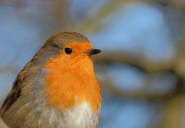 Robin Portrait by Fatronnie