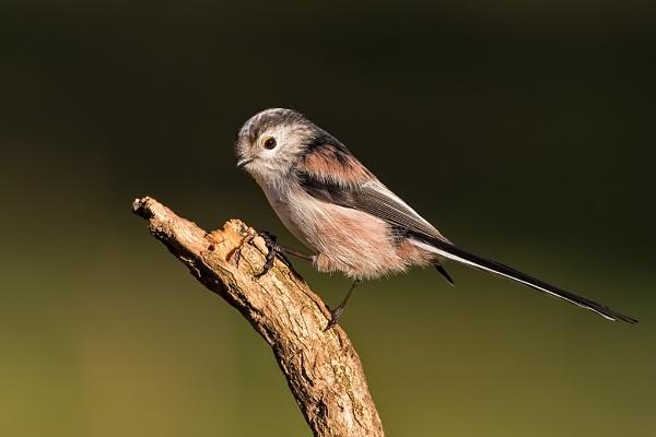 Long-tailed Tit (Aegithalos caudatus) by DerekL