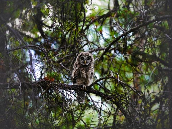 Great Horned Owl?  (Taken in Canada) by hsreid