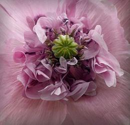 Poppy Heart