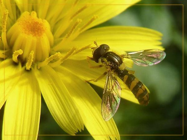 tiny hoverfly by CarolG