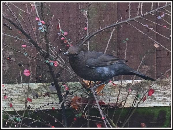 Blackbird by Maiwand