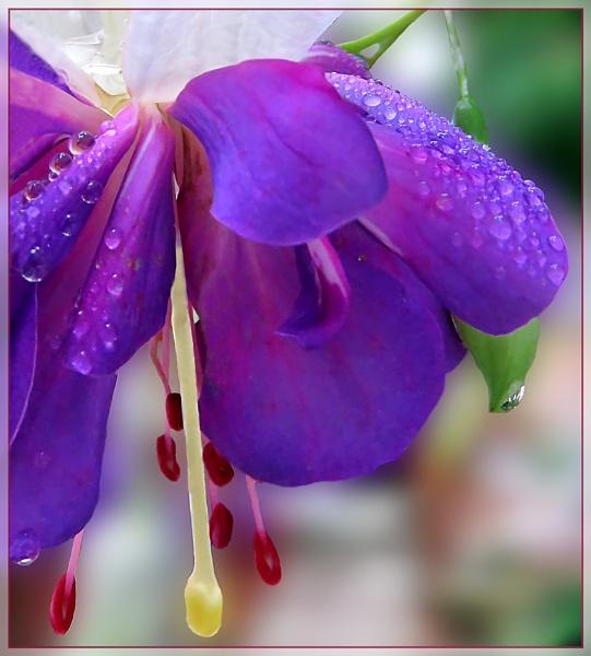 Fuchsia by Sylviwhalley