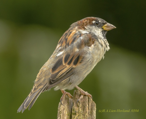 Sparrow 0504 by Richard Hovland