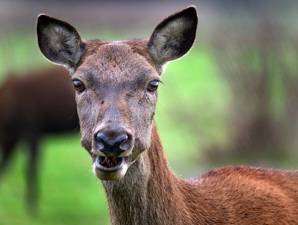 My deer! by paulbroad