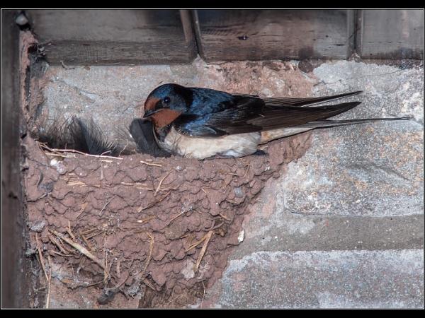 Swallow on Nest by Otinkyad