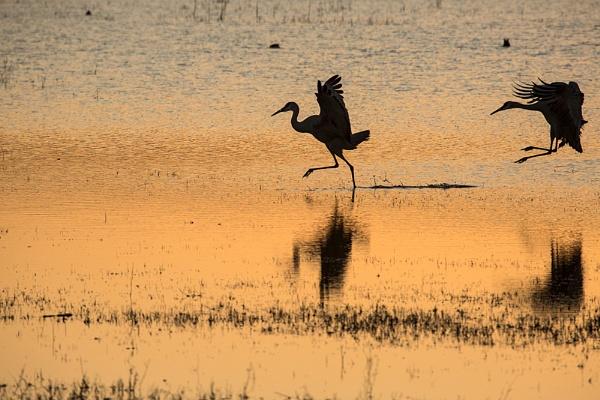 Sandhill Cranes dawn touchdown by rontear