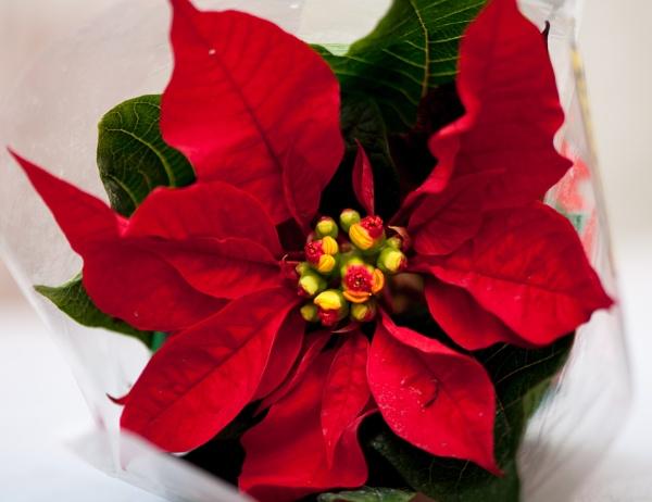 Poinsettia or Christmas flower by HarrietH