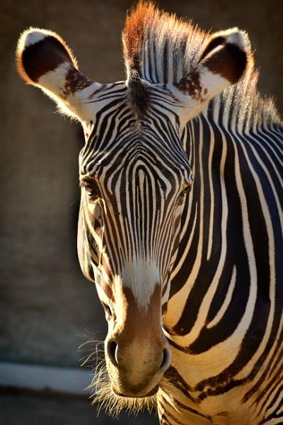 Zebra at the Zoo by john_w168