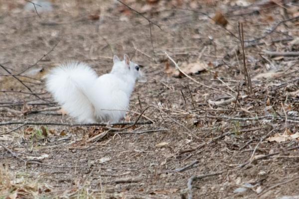 White Squirrel by JeffGresko
