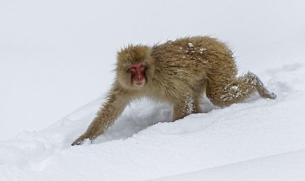 Snow Monkey by hibbz