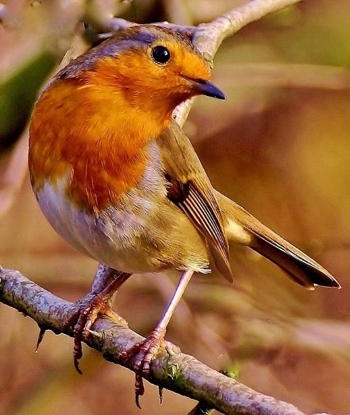 Christmas Robin by georgiepoolie