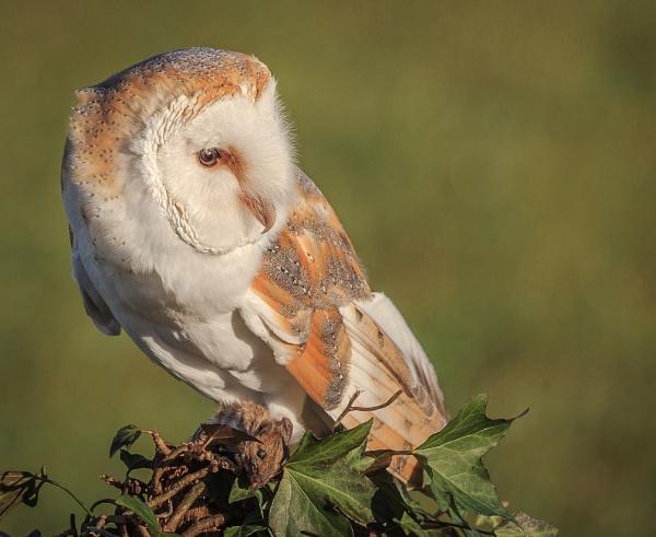 Barn Owl (Tyto Alba) by RobertTurley