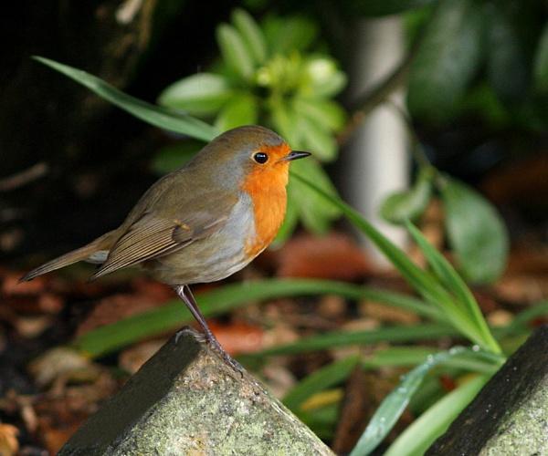 Robin-Erithacas rubecula. by bobpaige1