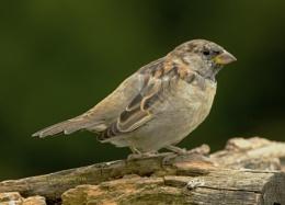 Sparrow 1196