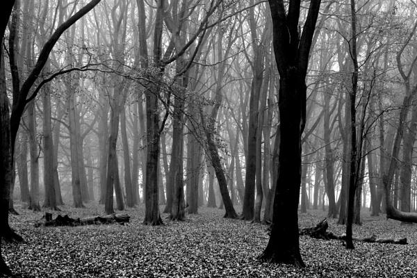 Ashridge Trees by peterthowe