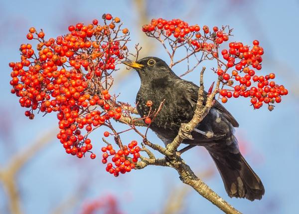 Blackbird by BydoR9