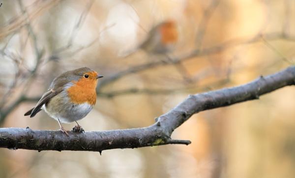 Robins in Reflection by gowebgo