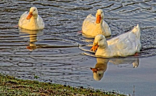 Cotebrook Ducks by pks