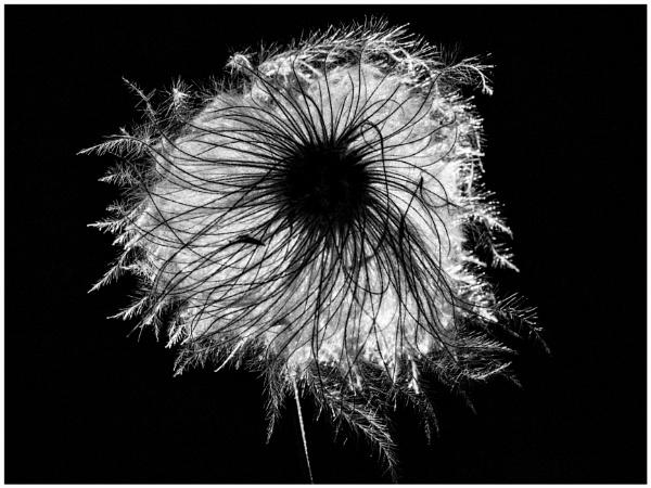 Clematis Seed-head by JawDborn