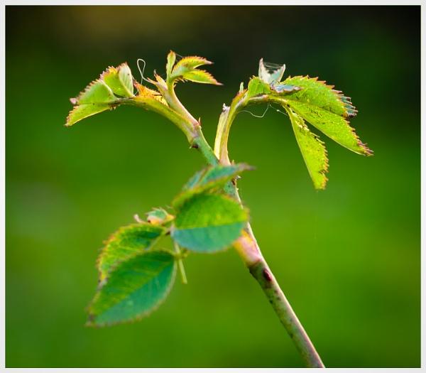 Wild Rose by Nikonuser1
