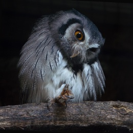 Southern white faced owl..