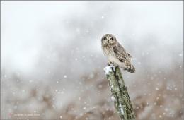 Short-eared owl II