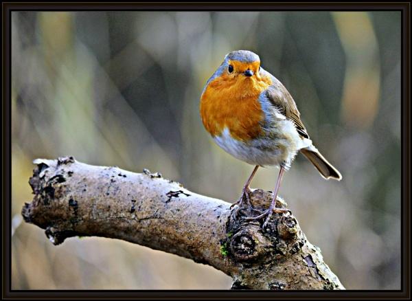 Robins,Blackbird and a Blue tit. by brandish
