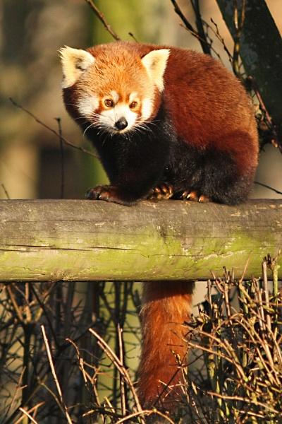 Red Panda-Ailurus fulgens. by bobpaige1
