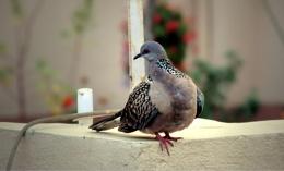 Orintal Turtle Dove