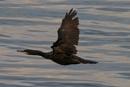 Great Cormorant - Wings Wide Open by aksoyk at 27/12/2016 - 9:22 AM