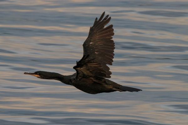 Great Cormorant - Wings Wide Open by aksoyk