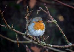 Arnside Robin
