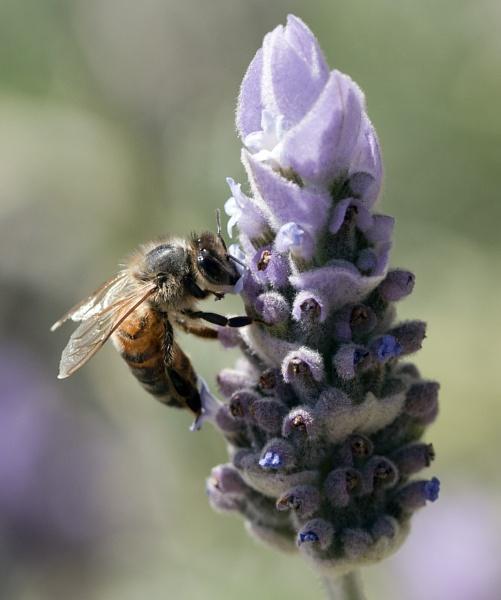 Bee on lavender 01 by Kerro