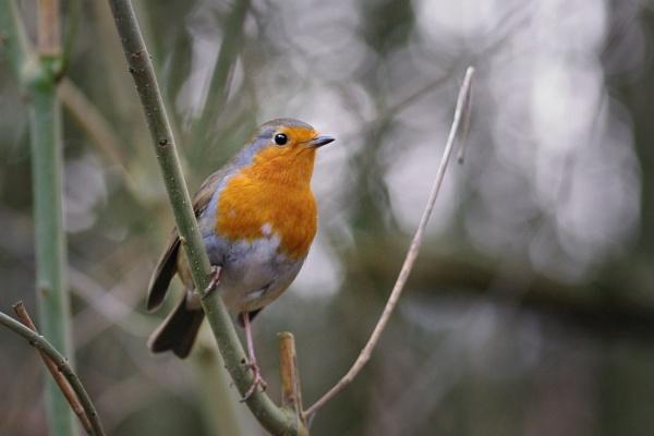 Robin (Brandon Marsh) by tom_earwaker