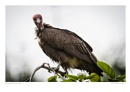 Hooded Vulture by running_man