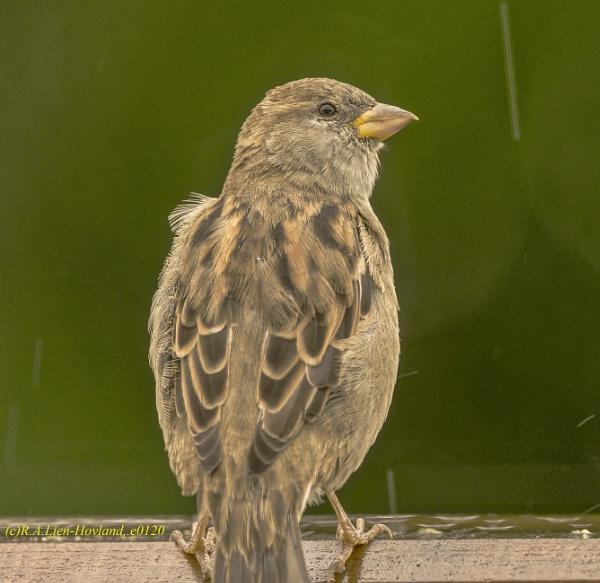 Sparrow. e0120 by Richard Hovland