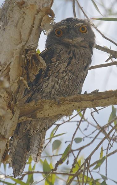 Whispering Owl by harrywatson