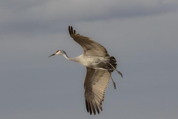 Sandhill Crane by rontear