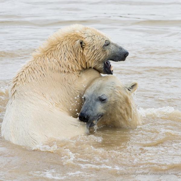 Polar Bears by Alan_Baseley
