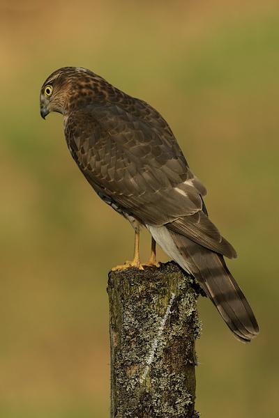 Juvenile Sparrowhawk by Louise_Morris