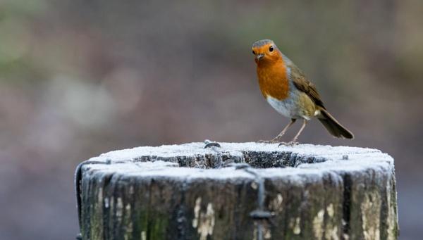 Robin by gowebgo