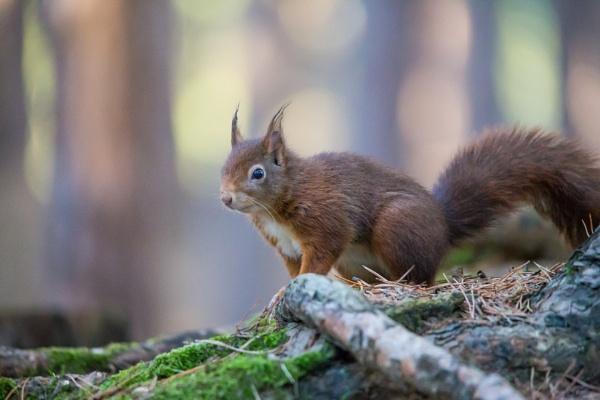 Red squirrel by Stevetheroofer