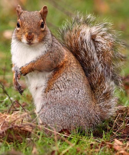 Grey Squirrel-Sciurus carolinensis. by bobpaige1